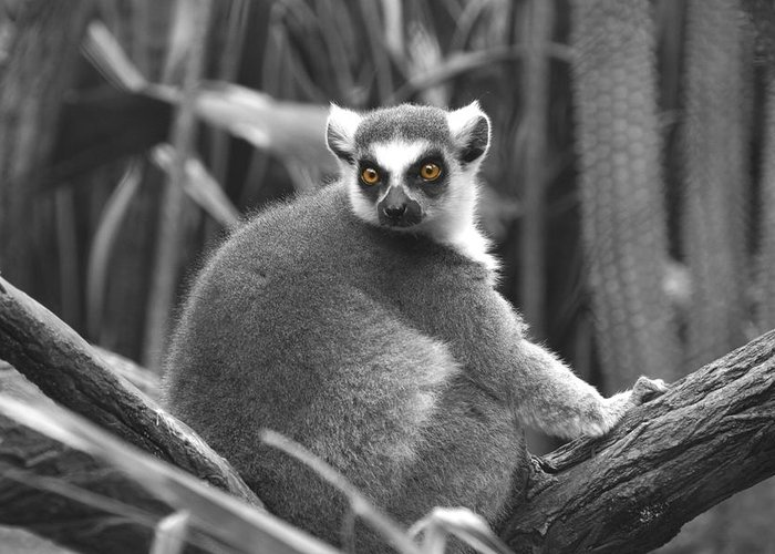 Lemur Greeting Card featuring the photograph Eye Popping by Gail Starr