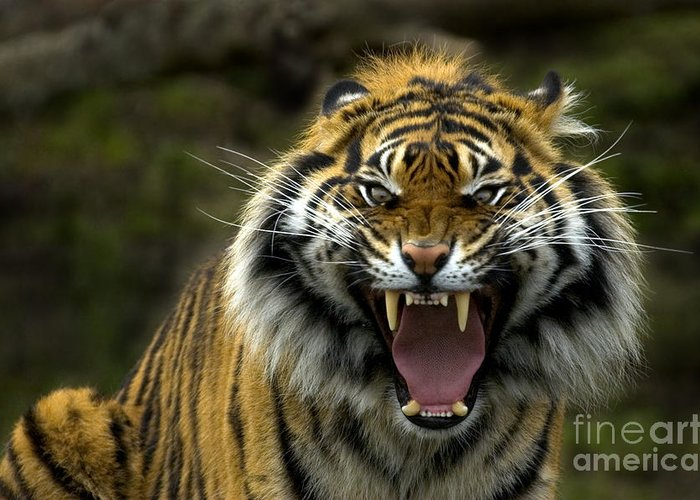 Tigers Greeting Cards