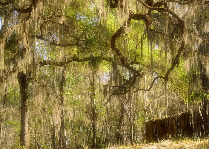 Spanish Greeting Card featuring the photograph Fabulous Spanish Moss by Christine Till