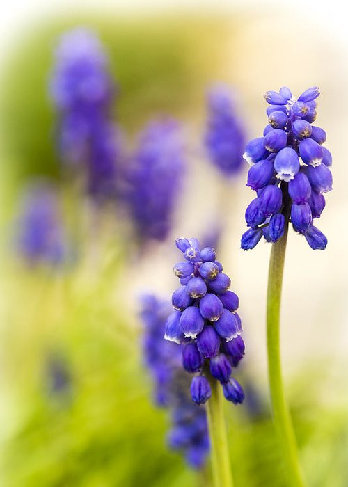 Grape Hyacinth Greeting Card featuring the photograph Fading by Caitlyn Grasso