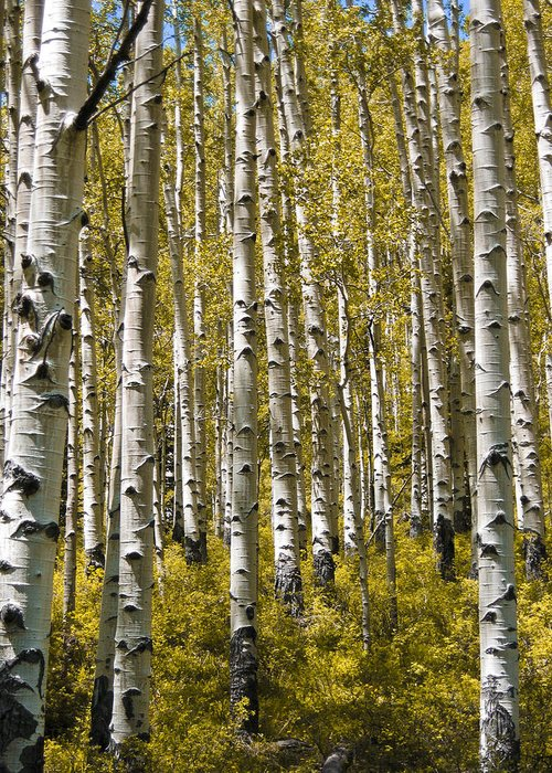 3scape Photos Greeting Card featuring the photograph Fall Aspens by Adam Romanowicz