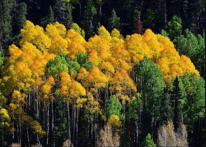 Aspaen Trees Greeting Card featuring the photograph Fall Aspens by David Lee Thompson