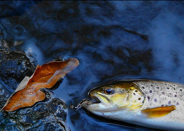 Trout Greeting Card featuring the photograph Fall Brown Trout by Thomas Young