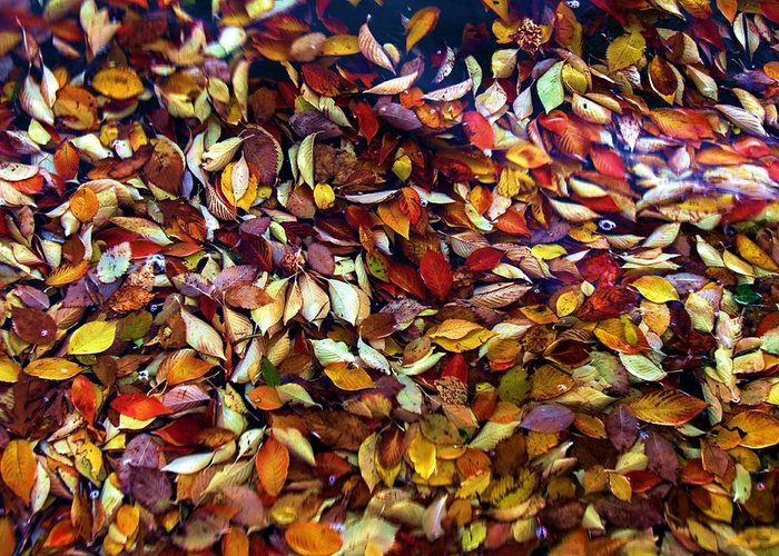 Leaves Greeting Card featuring the photograph Fall Leaves by Mitch Cat