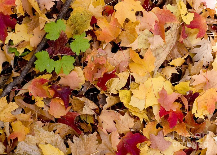 Arboretum Greeting Card featuring the photograph Fall Maples by Steven Ralser