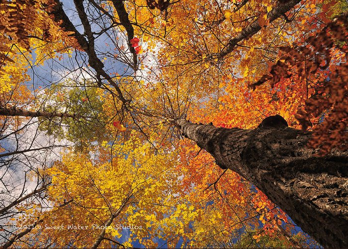Landscape Greeting Card featuring the photograph Fall Poplar Leaves Yellows Oranges 2899 by Marie Fierek