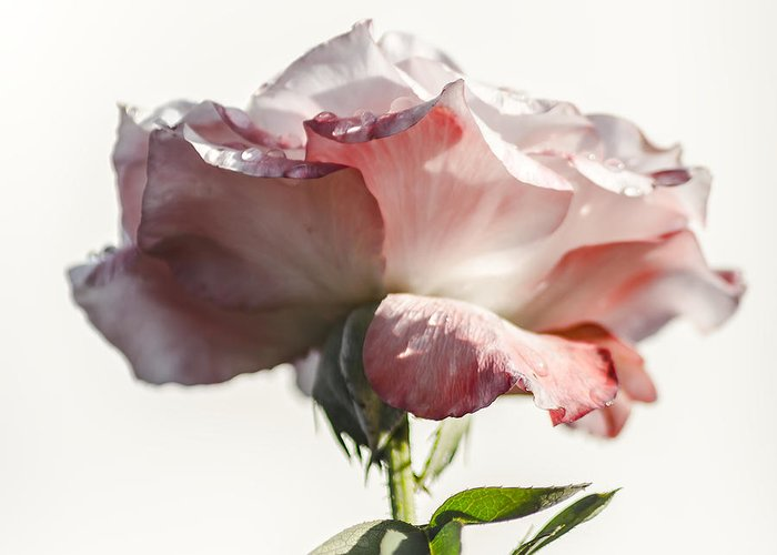 Rose Greeting Card featuring the photograph Fall Rose by Camille Lopez