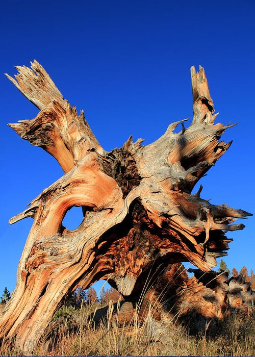 Tree Roots Greeting Card featuring the photograph Fallen by Shane Bechler