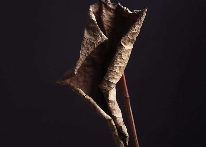 Studio Shot Greeting Card featuring the photograph Fallopia Japonica by Bernard Jaubert