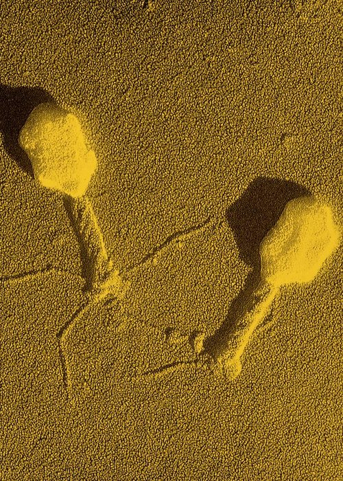 Bacteriophage Greeting Card featuring the photograph False-col Tem Of T4 Bacteriophage Infecting E.coli by M. Wurtz/biozentrum, University Of Basel/ Science Photo Library.