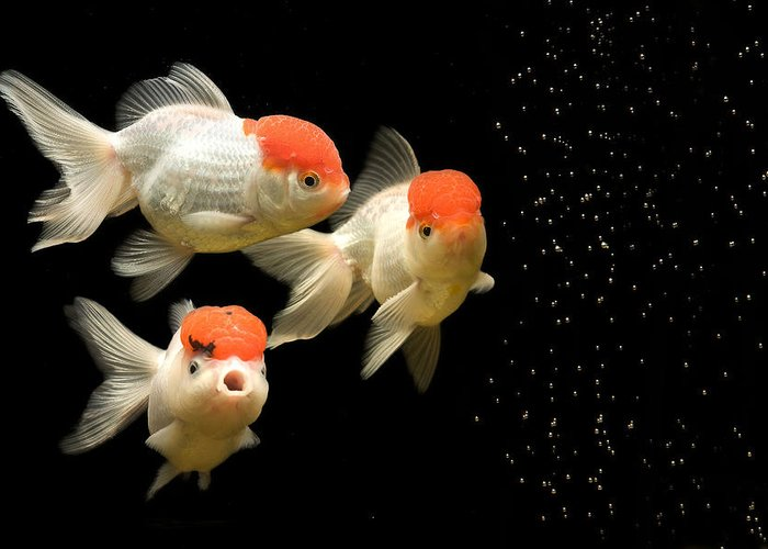 Red Cap Oranda Greeting Cards