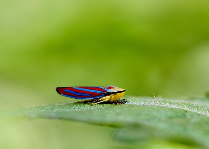 Leafhopper Greeting Card featuring the photograph Fashion Bug - Leafhopper by Andrea Lazar