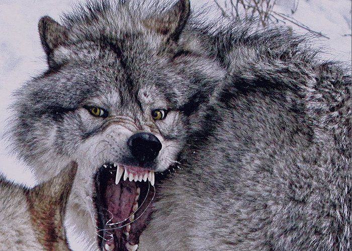 Wolf Greeting Card featuring the photograph Fear by David Parry