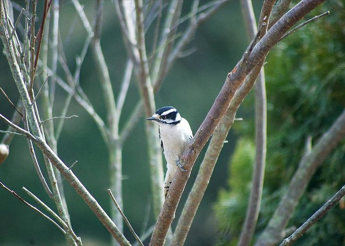 Woodpecker Greeting Card featuring the photograph Female Downy Woodpecker by Maggie Martin