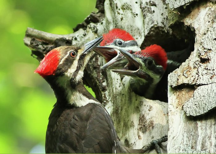 Pileated Greeting Card featuring the photograph Female Pileated Woodpecker At Nest by Mircea Costina Photography