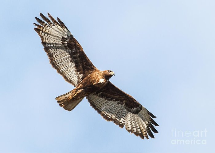 Buteo Jamaicensis Greeting Card featuring the photograph Female Red-tailed Hawk by Carl Jackson