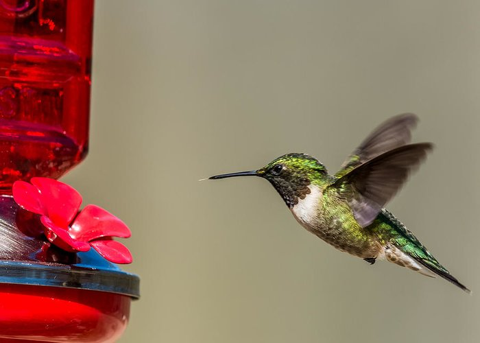 Feathers Greeting Card featuring the photograph Female Ruby Throated Hummingbird by Paul Freidlund