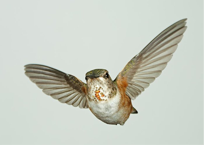 Bird Greeting Card featuring the photograph Female Rufous Hummingbird With Sequins by Gregory Scott