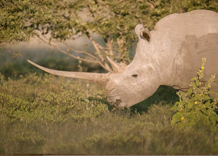 Adult Greeting Card featuring the photograph Female White Rhinoceros Grazing by Science Photo Library