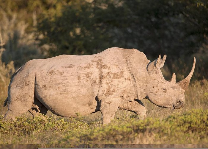 Adult Greeting Card featuring the photograph Female White Rhinoceros by Science Photo Library