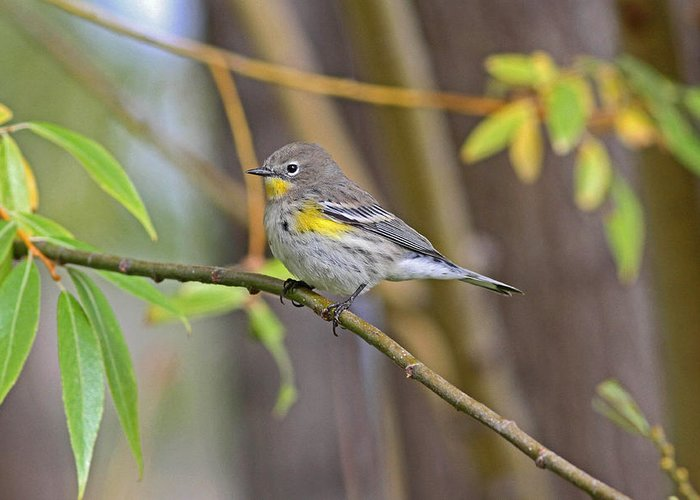 Birds Greeting Card featuring the photograph Female Yellow-rumped Warbler by Gary Wing