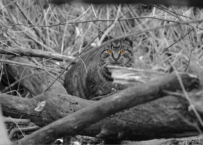 Cat Greeting Card featuring the photograph Feral Cat by Greg Graham