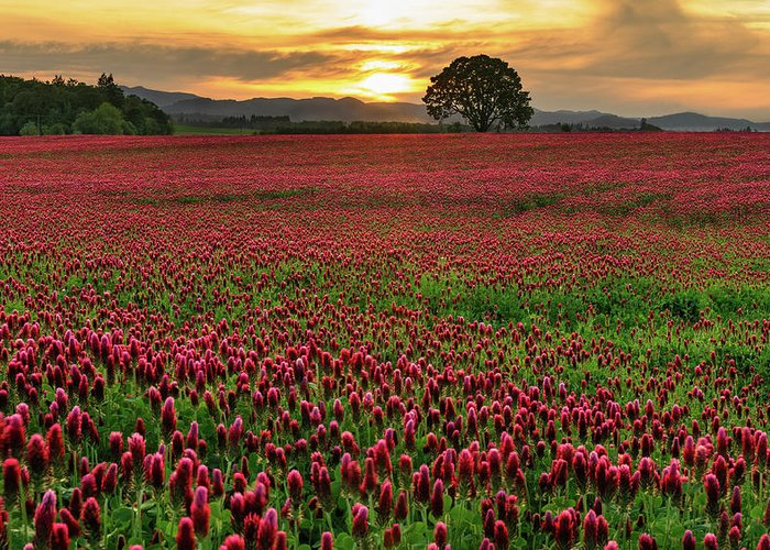 Scenics Greeting Card featuring the photograph Field Of Crimson Clover With Lone Oak by Jason Harris