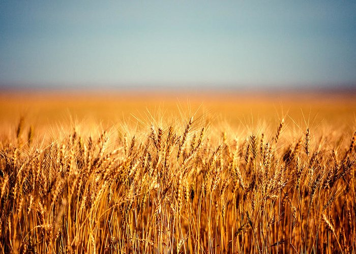 Summer Wheat Greeting Cards