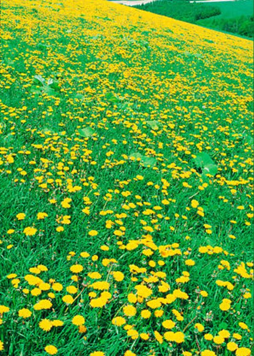 Field Of Dandelions Greeting Cards