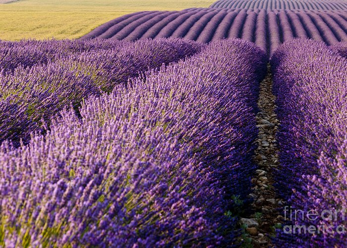 Lavender Greeting Card featuring the photograph Fields Of Lavender by Brian Jannsen