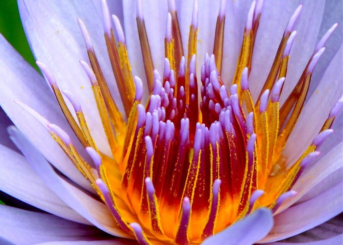 Lotus Flower Greeting Card featuring the photograph Fiery Eloquence by Karon Melillo DeVega