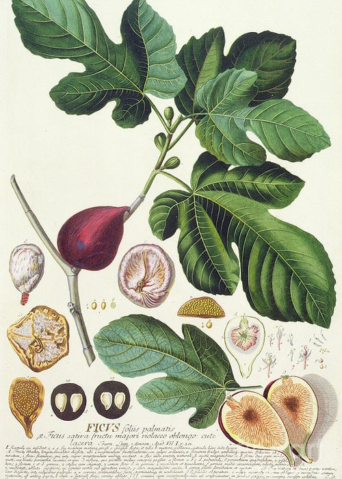 Print; Ficus; Palm Leaf; Cross Section; Seeds; Fruit; Figue; Figuier; Feuille Greeting Card featuring the painting Fig Engraved By Johann Jakob Haid by German School