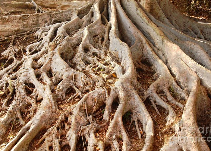 Roots Greeting Card featuring the photograph Fig Tree Roots In Balboa Park by Anna Lisa Yoder