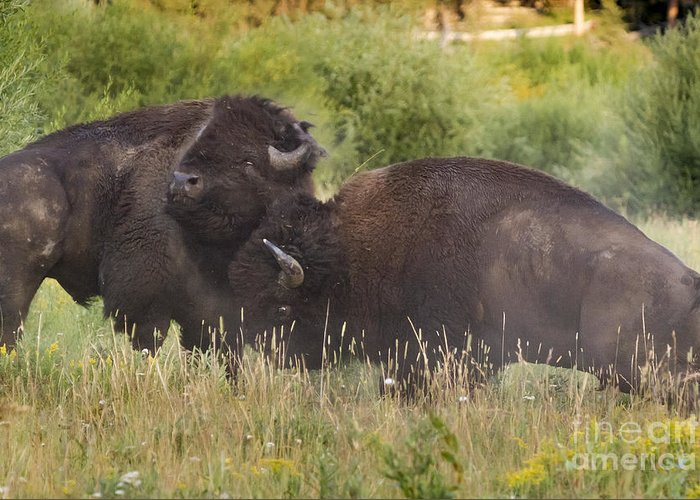 Adult Greeting Card featuring the photograph Fighting Bison by Mike Cavaroc