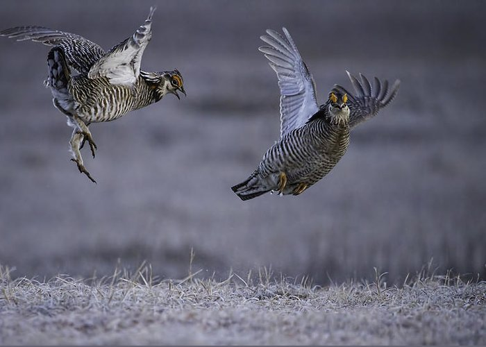 Prairie Chickens Greeting Card featuring the photograph Fighting Prairie Chickens by Thomas Young