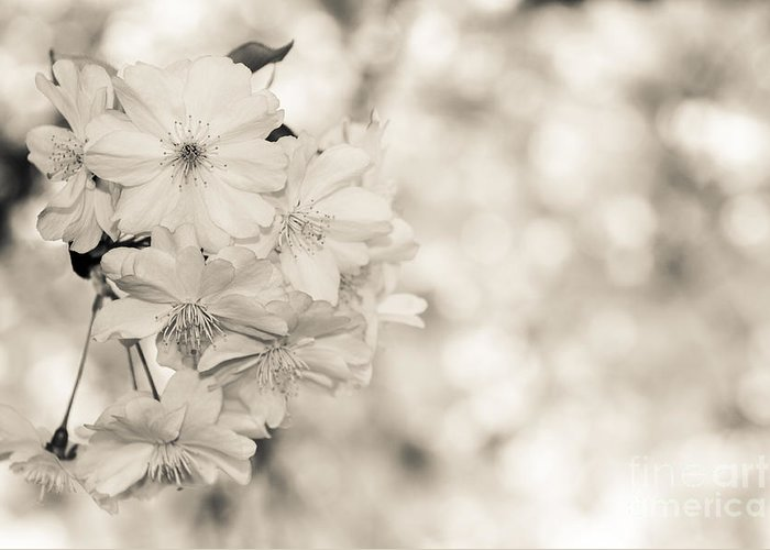 Hanami Greeting Card featuring the photograph Finest Spring Time - Bw by Hannes Cmarits