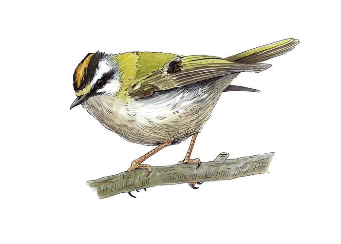 Cutout Greeting Card featuring the photograph Firecrest, Artwork by Science Photo Library