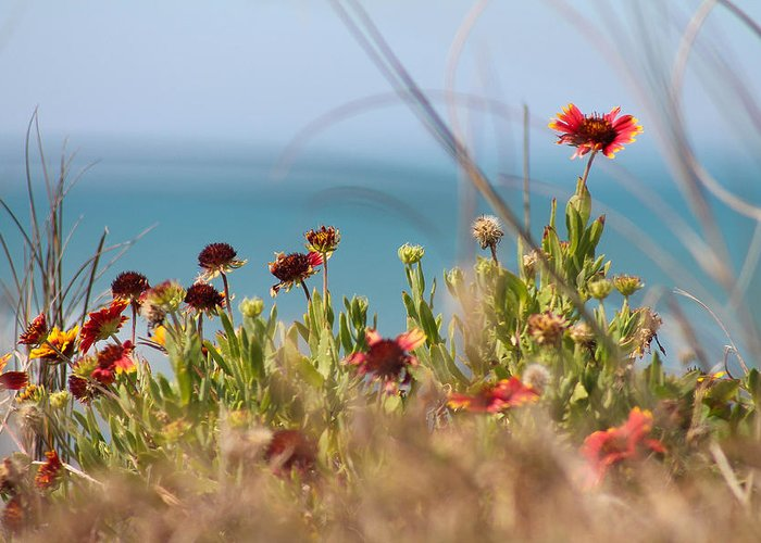 Flower Greeting Card featuring the photograph Firewheels By The Sea by Jessica Brown