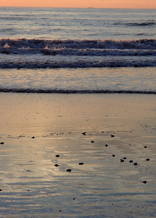 Sea Turtles Greeting Card featuring the photograph First Sunset by Robin Stout
