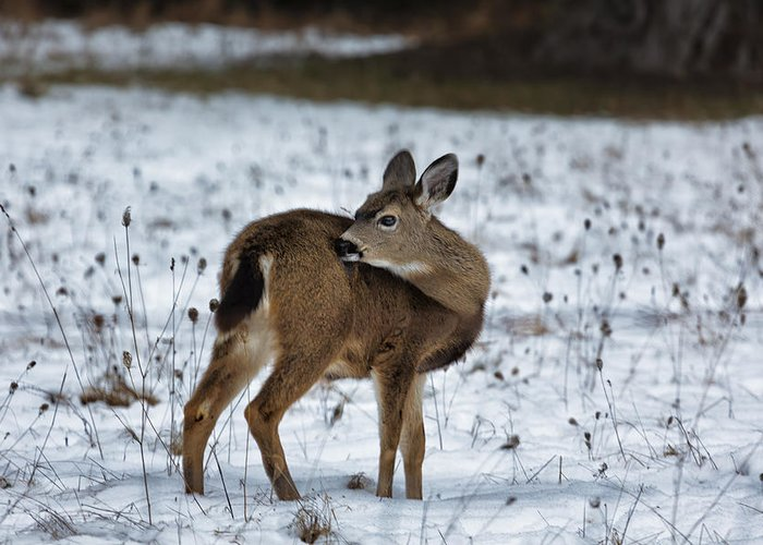 Fawn Greeting Card featuring the photograph First Winter by Belinda Greb