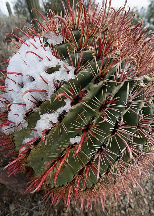 Fishhook Greeting Card featuring the photograph Fish Hook Barrel Cactus With Snow by Susan Degginger
