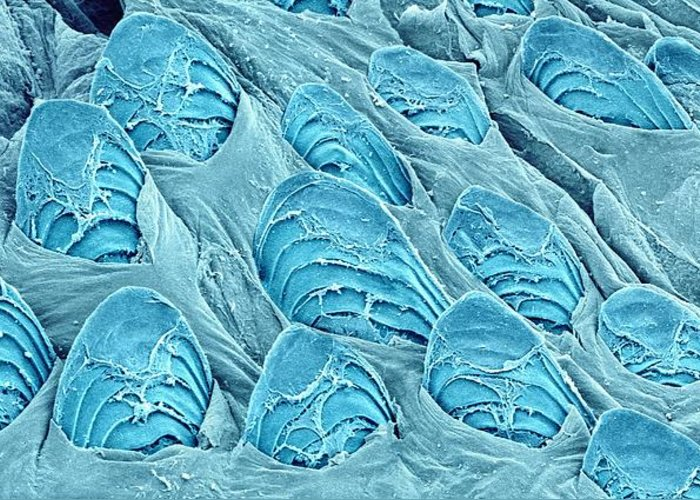 Animal Greeting Card featuring the photograph Fish Scales, Sem by Science Photo Library