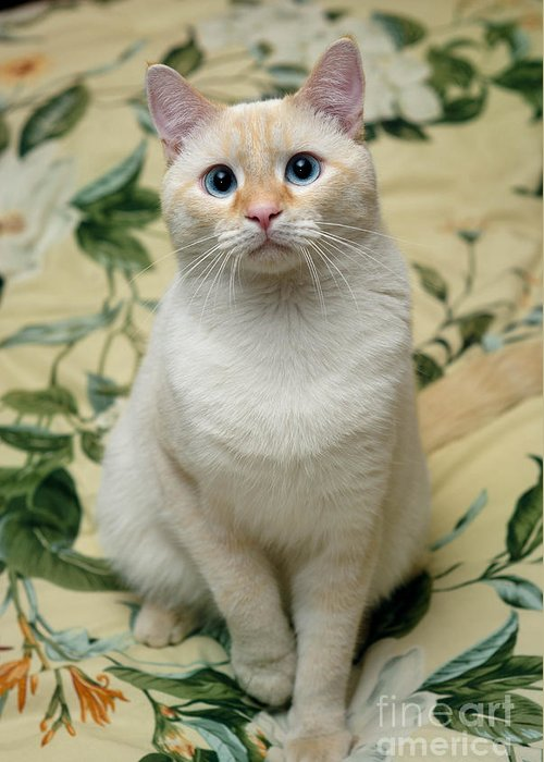 Blue Eyes Greeting Card featuring the photograph Flame Point Siamese Cat by Amy Cicconi
