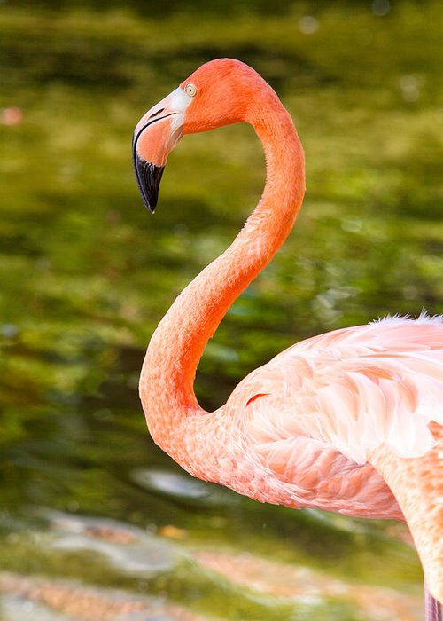 Beautiful Greeting Card featuring the photograph Flaming Flamingo by Jodi Jacobson