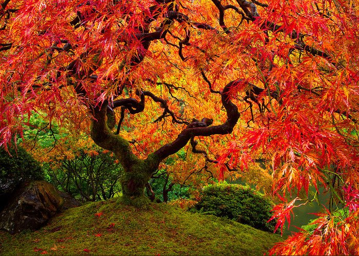 Portland Greeting Card featuring the photograph Flaming Maple by Darren White
