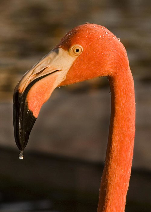 3scape Greeting Card featuring the photograph Flamingo by Adam Romanowicz