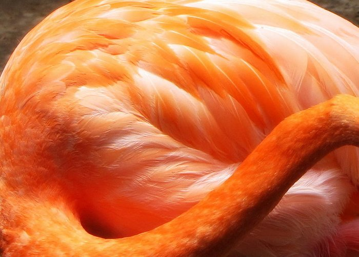 Flamingo Greeting Card featuring the photograph Flamingo Feathers by Beth Vincent