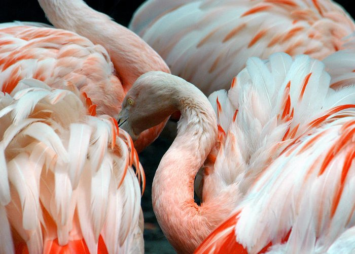 Flamingo Greeting Card featuring the photograph Flamingo by Glenn McGloughlin