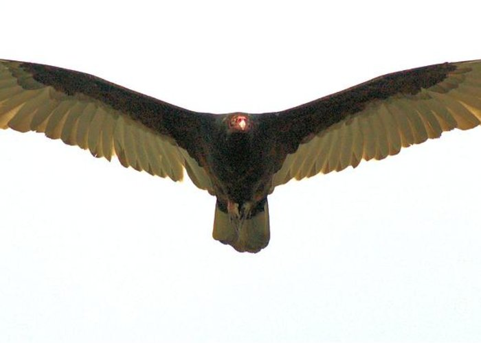 Turkey Vulture Greeting Card featuring the photograph Flight Of Beauty by David Call