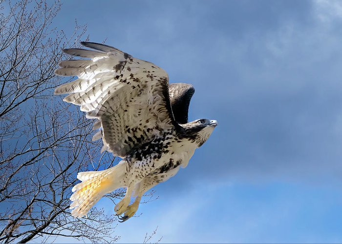 Redtail Hawk Greeting Card featuring the photograph Flight Of The Red Tail by Bill Wakeley